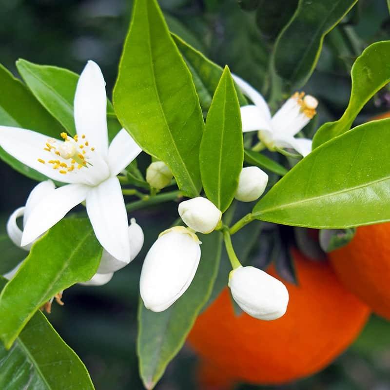 Fleur d'oranger - Parfum pour bougies