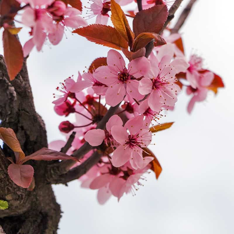 Fleur de cerisier - Parfum pour bougies