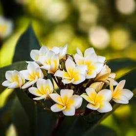Fleur de tiaré - Parfum pour bougies