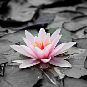 Lotus - Parfum pour bougies