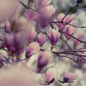 Magnolia - Parfum pour bougies