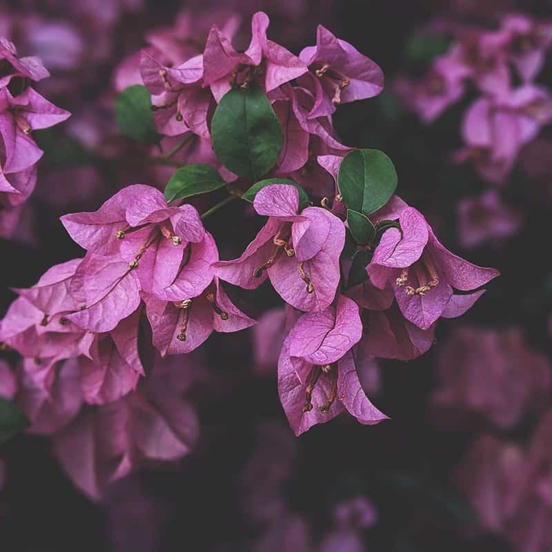 Violette - Parfum pour bougies